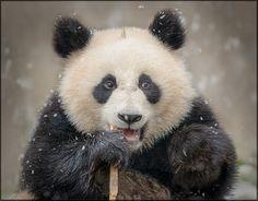 Panda Cub, China
