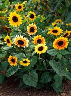 Growing Sunflowers in Backyard Family Garden
