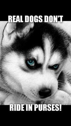 Wonderful All About The Siberian Husky Ideas. Prodigious All About The Siberian Husky Ideas. Siberian Husky Puppies, Husky Puppy, Siberian Huskies, Cute Puppies, Cute Dogs, Dogs And Puppies, Doggies, Puppies Puppies, Rottweiler Puppies
