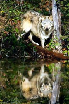 The wolf is neither mans competitor nor his enemy. He is a fellow creature with whom the earth must be shared. (via wolf watcher) Beautiful Creatures, Animals Beautiful, Cute Animals, Wolf Spirit, Spirit Animal, Of Wolf And Man, Wolf Life, Howl At The Moon, Timber Wolf