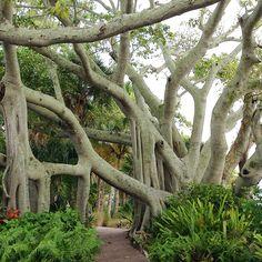 Sassytrash photo -- Useppa island florida banyan tree