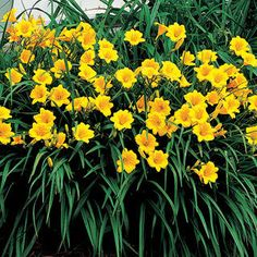 Daylilly.  I have planted 2 of these already.  Hopefully this year they will come out real pretty.