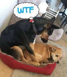 """""""Oh you got a new bed? I fits too"""" #dogs #pets #dog #Adopt #love #cute #animals #puppy"""