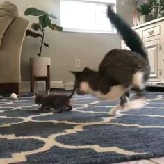 Cute Cats And Kittens, I Love Cats, Crazy Cats, Kittens Cutest, Cute Funny Animals, Cute Baby Animals, Funny Cute, Cute Animal Videos, Funny Animal Pictures