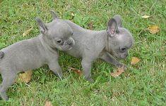 Blue french bulldogs