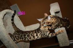 Wildforest Bengals | Bengal Cats Bengals Illustrated Directory