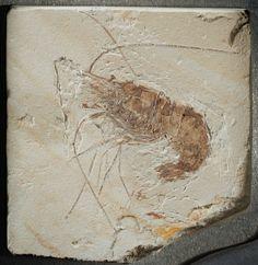 LARGE LEBANESE FOSSIL SHRIMP Carpopenaeus callirostris Upper Cretaceous Haqil, Byblos, Lebanon