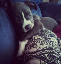 Cute little pitbull puppy snuggled up on a couch.