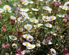 Erigeron karvinskianus - Santa Barbara daisy. Good in containers or for trailing over a wall; spreads sparingly by seed in the garden; blooms profusely from spring through fall; attracts butterflies and beneficial insects.