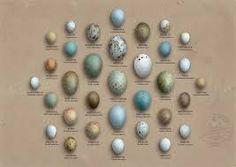 eggs identification