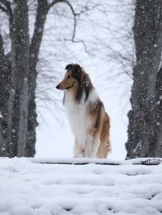 The Shetland Sheepdog originated in the and its ancestors were from Scotland, which worked as herding dogs. These early dogs were fairly Collie Puppies, Collie Dog, Dogs And Puppies, Doggies, Sheep Dogs, I Love Dogs, Cute Dogs, Scotch Collie, Shetland Sheepdog Puppies