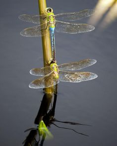 dragonflies -- [REPINNED by All Creatures Gift Shop]