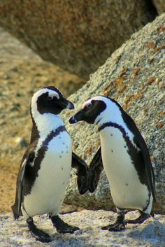Penguins in love Penguin Love, Cute Penguins, Penguin Party, Animals And Pets, Baby Animals, Cute Animals, Beautiful Birds, Animals Beautiful, Little Birds