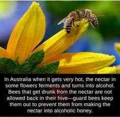 In Australia when it gets very hot, the nectar in some flowers ferments and turns into alcohol. Bees that get drunk from the nectar are not allowed back in their hive—guard bees keep them out to. Badass Pictures, Best Funny Pictures, Bee Facts, Facts You Didnt Know, Wtf Fun Facts, Creepy Facts, Random Facts, Science Facts, Animal Facts
