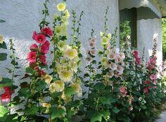 Nieuwe bloemekes - border - stokrozen