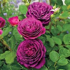 Purchase our Ebb Tide Rose. Deep plum-purple blooms rarely seen! You may never want to grow another rose again. Phenomenal flower power and super hardy pl. Beautiful Flowers Garden, Amazing Flowers, Beautiful Roses, Beautiful Gardens, Rose Foto, Ronsard Rose, Rose Violette, Rose Pictures, Flower Photos