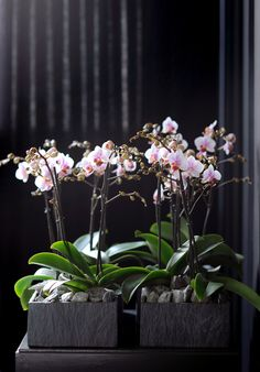 Phalaenopsis Orchids - Phalaenopsis is available all year Orchids Garden, Orchid Plants, Green Wedding Decorations, Blooming Orchid, Orchid Arrangements, Inside Plants, Floating Flowers, Phalaenopsis Orchid, Orchid Care