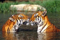 Ranthambore National Park is one of the few places in India where you can see the tiger in its natural habitat. Naturally, there are a lot of tourists from within as well as outside India who come to visit Ranthambore, right through the year, especially in November and May. http://www.ranthamborenationalpark.com