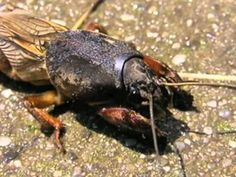 The Mole Cricket, a bizarre burrowing insect