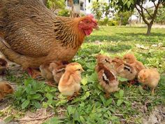 mama chick and her babies