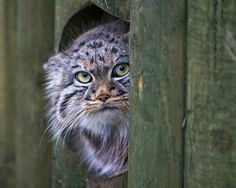 13 Reasons Pallas' Cats Are Just Misunderstood Teenagers