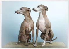Italian Greyhounds- Warren and Wiley