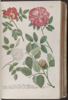 Phytanthoza iconographia, sive, Conspectus aliquot millium : tam indigenarum quam exoticarum, ex quatuor mundi partibus longâ annorum serie indefesoque studio. By Weinmann, Johann Wilhelm, 1683-1741.