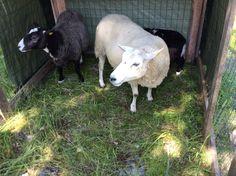 villaa Goats, Villa, Animals, Animales, Animaux, Animal, Animais, Fork, Villas