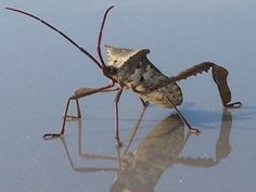 Leaf-Footed Bug | Landscaping Ideas and Hardscape Design | HGTV The leaf-footed bug is an unwelcome visitor in vegetable and fruit gardens ~ http://www.hgtv.com/design/outdoor-design/landscaping-and-hardscaping/leaf-footed-bug