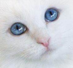 Fantasia a rare Blue-Eyed White Ragdoll cat.