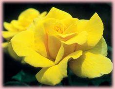 Medium Yellow. Bush only. Rosa Hybrid Tea (Marco Polo o.r.)