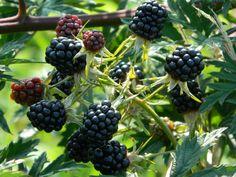 Rubus fruticosus 'Thornless Evergreen', doornloos, lange pluktijd (juli), aug en sept (okt). Deels groenblijvend, decoratief blad.