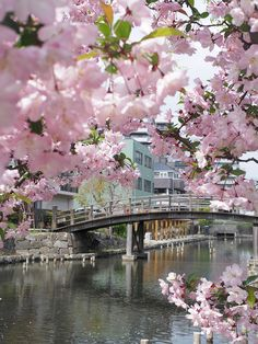Japanese Garden Cherry Blossom Bridge cherry blossoms japanese japan hongkong garden floral wall canvas