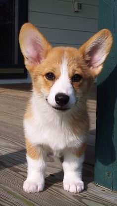 Cute Welsh Corgi Puppy Pembroke Welsh Corgi & Facts, Pictures and Information & by Pets Planet. Source by The post Pembroke Welsh Corgi & Facts, Pictures and Information Cute Corgi Puppy, Corgi Dog, Cute Dogs And Puppies, Mini Corgi, Puppies Tips, Pembroke Welsh Corgi Puppies, Pomeranian Puppy, Korgi Puppies, Puppy Goldendoodle