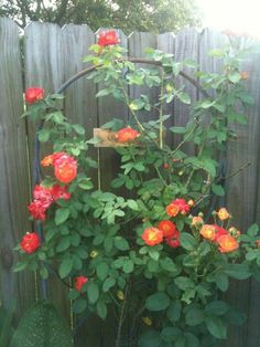 Josephs Coat rose on fence : how and when to prune ...