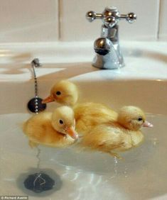Things that make me happy. Baby ducks. Also it's THE THREE LITTLE BIRDS! Animals Images, Birds, Cute, Harry Potter, Kawaii, Bird
