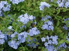 This is a guide about growing a plumbago. This fast growing, drought tolerant, flowering plant will attract birds and butterflies to your garden. For the butterfly garden. Small Backyard Gardens, Florida Flowers, Flowers, Florida Gardening, Fence Plants, Blue Garden, Plants, Planting Flowers, Florida Landscaping