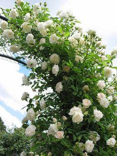 Rosas para enfeitar o jardim