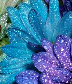 Turquoise and Purple petals Morning Dew, Dew Drops, Rain Drops, Turquoise And Purple, Water Droplets, Foto Art, Lavender Blue, Violet, Belle Photo