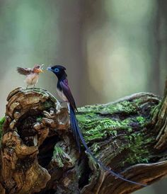 Japanese flycatcher, father + baby