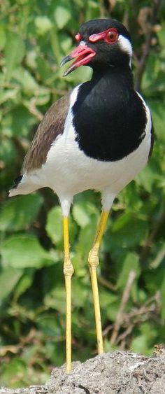RED-WATTLED LAPWING - Vanellus indicus . . . Iraq, SW Iran, the Arabian/Persian Gulf, Baluchistan, Afghanistan, Pakistan, Indian subcontinent to Kanyakumari up to 1800m in Kashmir/Nepal), with another sub-species in SE Asia