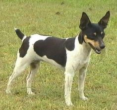 tenterfield terrier - Google Search Rat Terriers, Terrier Dogs, Dog List, Dog Recipes, Dogs Of The World, Dog Friends, I Love Dogs, Fur Babies, Puppies