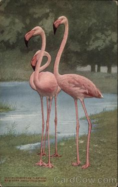 New York Zoological Park Flamingo Postcard