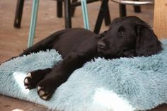 Maus ~ Flat-Coated Retriever Pup ~ Classic Look