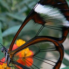 incredible - transparent wings.  To go with your glass slippers.