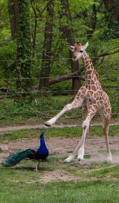 Peacock & Giraff