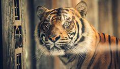 https://flic.kr/p/xiUtU5 | A Watchful Tiger | Taken at the San Diego Safari Park, California