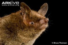 New Zealand lesser short-tailed bat (Mystacina tuberculata)   VULNERABLE   The world's most terrestrial bat, this species fills the niche of mice or shrews in other parts of the world.