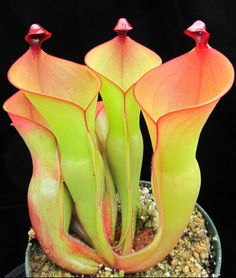 The Sun Pitcher Plant (Heliamphora) is an exotic pitcher plant growing among the clouds of South America. A relative of the North American Sarracenia and Darlingtonia californica, the pitfall traps turn solid hues of green, red, and dark purple. Weird Plants, Unusual Plants, Rare Plants, Exotic Plants, Cool Plants, Strange Flowers, Unusual Flowers, Rare Flowers, Amazing Flowers