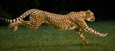 cheetah - Buscar con Google